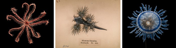 Left: Specimen of Blaschka Marine Life: Comatula Mediterranea (Nr. 250), Leopold and Rudolf Blaschka, Dresden, Germany, 1885. Lent by Cornell University, Department of Ecology and Evolutionary Biology. L.17.3.63-10.  Center: Specimen of Blaschka Marine Life: Glaucus Iineatus (Nr. 449), Leopold and Rudolf Blaschka, Dresden, Germany, 1885. Lent by Cornell University, Department of Ecology and Evolutionary Biology. L.17.3.63-374. Right: Porpita mediterranea (Nr. 216), Leopold and Rudolf Blaschka, Dresden, Germ