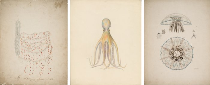 Left: Design Drawing of Halistemma rubrum (Nr. 208), Leopold and Rudolf Blaschka, Dresden, Germany, 1863-1890. CMGL 122344. Center: Design Drawing of Octopus salutii (Nr. 573), Leopold and Rudolf Blaschka, Dresden, Germany, 1863-1890. CMGL 94536. Right: Design Drawing of Holigocladodes lunulatus (Nr. 233), Leopold and Rudolf Blaschka, Dresden, Germany, 1863-1890. CMGL 122349.