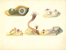 Sea anemones, Leopold and Rudolf Blaschka. 1 art original: ink, watercolor on paper ; 23 x 57 cm folded to 23 x 29 cm. CMGL 96207.