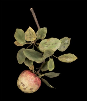 Botanical Wonders: Fruit Diseases