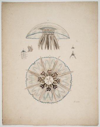 Design Drawing of Holigocladodes lunulatus, no. 233, Leopold and Rudolf Blaschka, Dresden Germany, 1863-1890. CMGL 122349.