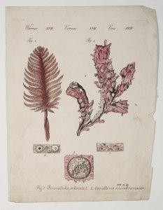 Pennatula setacea [art original]: Corallina membranacea