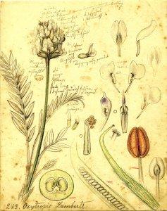 Oxytropis Lamberti [art original].