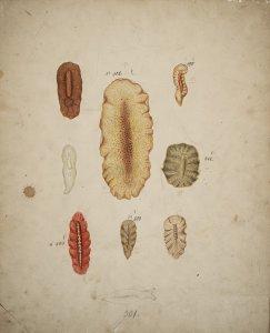 Eurylepta auriculata [art original]: Leptoplana gigas: Leptoplana lanceolata: Leptoplana purpurea: Leptoplana otifera: Polycelis orbicularis.