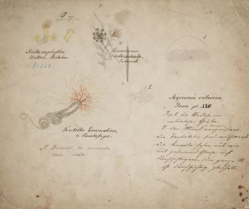 Balanophyllia italica, no. 120 [art original]: Lucernaria octoradiata: Terebella emmalina de quatrefages: Aequorea vitrina