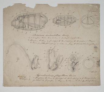 Doliolum denticulatum [art original]: Appendicularia flagellum.