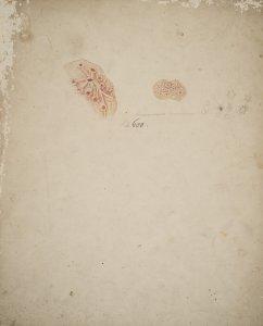 Amaroucium Nordmannii [art original].
