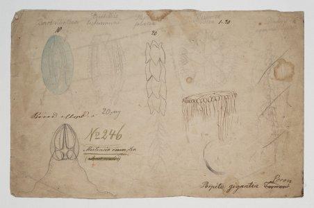 Beroi elliptica [art original]: Eucharis tietemanni: Stephanomia foliacia: Berenice rosea: Mertensia ovum, no. 246: Porpite gigantea peron