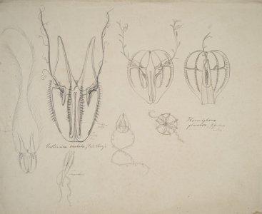 Callianira bialata [art original]: Hormiphora plumose