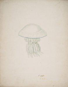 Rhizostoma octopus, no. 233 [art original].