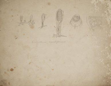 Clavellina Lepadiformis [art original].