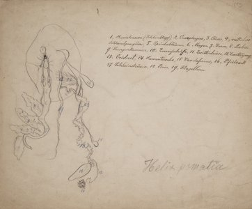 Ophiomastix annulosa [art original]: Helix pomatia.