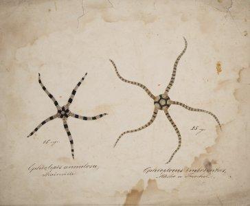 Ophiolepis annulosa [art original]: Ophioplocus imbricatus.