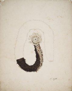 Holothuria coluber, no. 270 [art original].