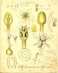 Cinnamomum officinale [art original]