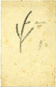Monilia [art original].