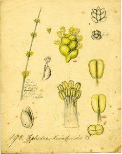 Ephedra nevadensis [art original].