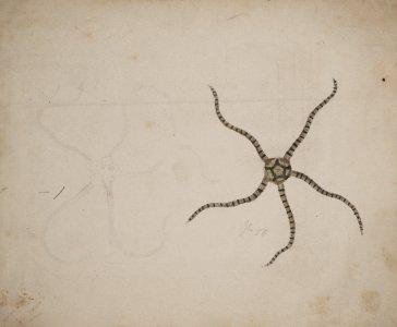 Ophioplocus imbricatus [art original].