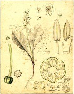 Pyrola elliptica [art original]