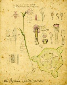 Pogonia ophioglossoides [art original].