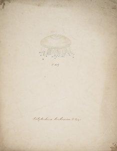 Cotylorhiza borbonica, no. 229 [art original].