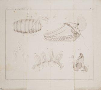 Zeitschrift f. miffenshaftl. Zoologie Bd. VII [art original].