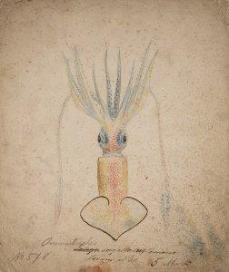 Ommastrephes sagitta, no. 578 [art original].