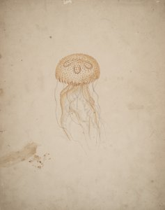 Pelagia noctiluca, no. 235 [art original].