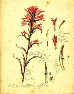 Castilleia affinis [art original].
