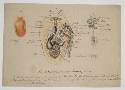 Pleurobranchus aurantiacus [art original].