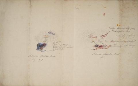 Actinia florida [art original]: Actinia clematis
