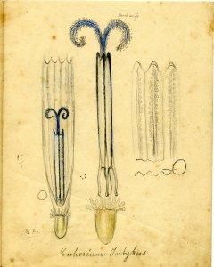 Cichorium intybus [art original] = Ranunculus repens.