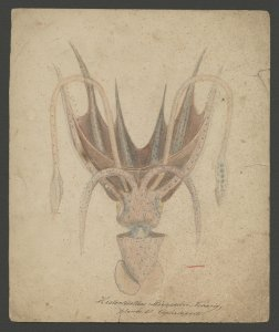 Histioteuthis [art original].
