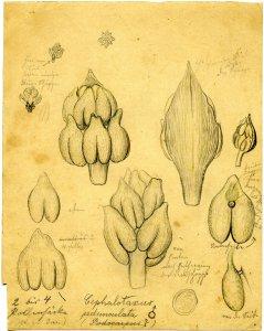 Cephalotaxus pedunculata [art original].