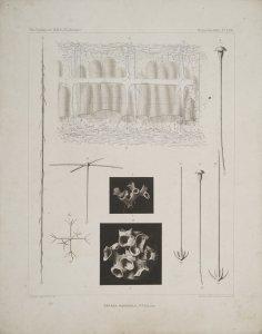 Farrea Haeckelii [art original].