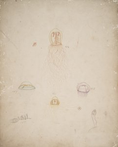 Lafoea calcarata, no. 157 [art original]: Laodicea cellularia, no. 158: Melicertum campanula, no. 165: Polyorchis penicillata, no. 174