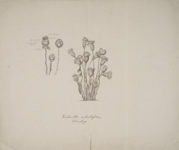 Vorticella nebulifera [art original].
