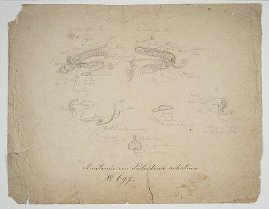 Anatomie von Paludina achatina [art original].