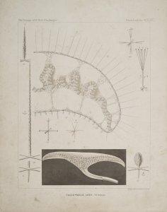 Caulophacus Latus [art original].