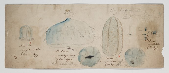 Medusa campanulata [art original]: Medusa mucilaginosa: Beroe punctata: Beroe constricta