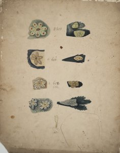 Botryllus bivittatus [art original]: Botryllus gemmeus: Botryllus smaragdus: Botryllus violaceus: Clavellina lepadiformis.