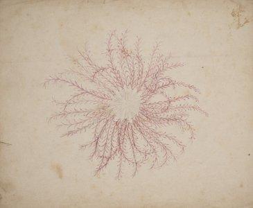[Comatula novae guineae] [art original].