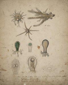 Amoeba proteus [art original]: Difflugia pyriformis: Euglypha ciliata.