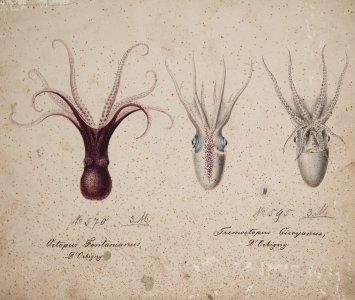 Octopus fontanianus, no. 570 [art original]: Tremoctopus quoyanus, no. 595