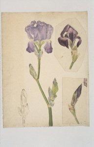 Still life drawing of iris plant [slide]