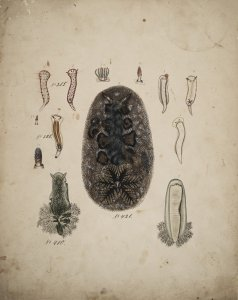 Chromodoris maculosa [art original]: Chromodoris variegata: Doris debilis: Doris nubilosa.