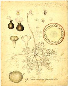 Utricularia purpurea [art original].