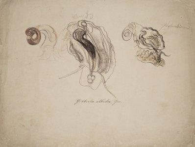 Gibbula albida [art original].