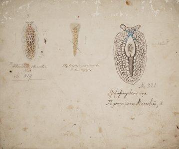 Stylochus palmula [art original]: Thysanozoon brocchii, no. 319, no. 391