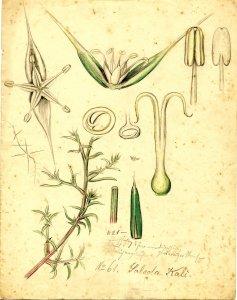 Salsola kali L. Saltwort [art original].
